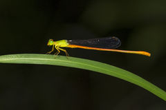 Portrait of damselfly - Orange-tailed Sprite Royalty Free Stock Image