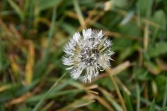 A portrait of a dandelion flower. Taken last year in october Stock Image