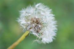 Portrait of a dandelion. Into a green garden in summertime Stock Photos