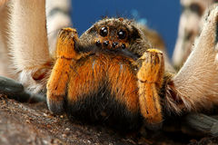 Portrait of dangerous creepy tarantula Stock Photography