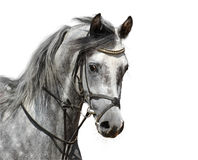 Portrait of dapple-grey arabian horse. Isolated on white Royalty Free Stock Photos