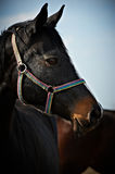 Portrait of a Dark Bay Horse Stock Images