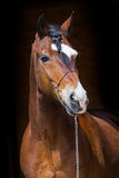 Portrait of dark bay horse Royalty Free Stock Photo
