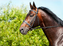 Portrait of a dark bay horse on a background of grass. Portrait of a dark bay horse on a background of green grass stock photography