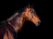 Portrait of a dark bay horse on a black background. Portrait of a bay horse on a black background royalty free stock images
