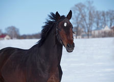Portrait of  dark-bay horse Stock Photos