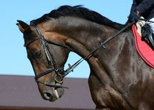 Portrait of a dark bay sport horse in motion royalty free stock photography