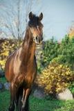 Portrait of dark bay sportive welsh pony stallion royalty free stock photography