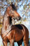 Portrait of dark bay sportive welsh pony stallion stock images