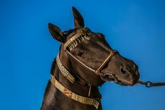 Portrait of dark brown akhal teke warm blood horse. With decorated silver and red show halter on a bright sunny summer day at a ranch, clear blue sky in stock photo