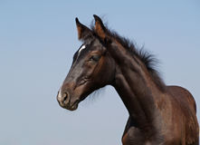 Portrait of  dark-brown foal Stock Images