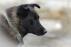 Portrait dark dog on white snow background. Portrait of dark dog on white snow background, close-up, horizontal Royalty Free Stock Photography