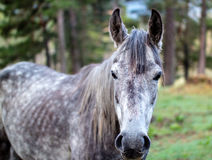 Portrait of a dark grey horse Stock Photos