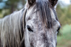 Portrait of a dark grey horse Stock Image