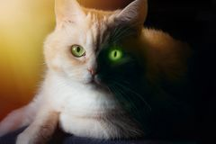Portrait with dark and light halves of a cat`s face - concept of probable danger emanating from cats royalty free stock photos