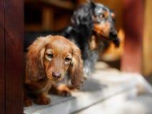 Portrait of Dashund dog Stock Photo