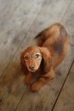 Portrait of Dashund dog Royalty Free Stock Photography