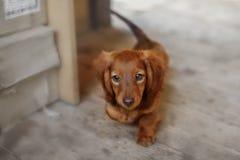 Portrait of Dashund dog Royalty Free Stock Photos