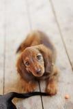 Portrait of Dashund dog Stock Images
