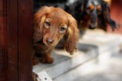 Portrait of Dashund dog Stock Image