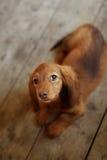 Portrait of Dashund dog Royalty Free Stock Images