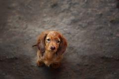 Portrait of Dashund dog Royalty Free Stock Image