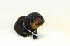 Portrait of 10 days doberman puppy. Sweet 10 days doberman puppy stock photos
