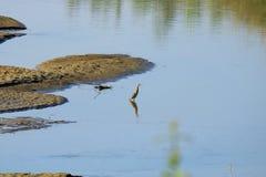 Portrait de bacchus chinois d'Ardeola de héron d'étang en nature au Népal photos stock