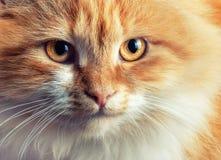 Portrait de beau chat roux Images stock