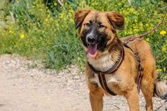 Portrait de beau chien brun dans le pré Photo stock