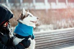 Portrait de beau chien enroué sibérien dans l'écharpe chaude bleue le jour ensoleillé d'hiver photos libres de droits