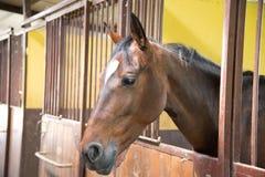 Portrait de beau jeune cheval brun, dans la boîte de stalle images stock