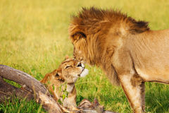 Portrait de beau lion et de lionne caressant Photo stock