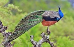 Portrait de beau paon avec des plumes  Le cristatus de Pavo de peafowl indien ou de peafowl bleu images stock