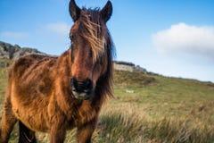 Portrait de beau pottok Basque de cheval avec le vent dans les cheveux en montagnes de campagne dans le pays Basque, France Images stock