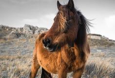 Portrait de beau pottok Basque de cheval avec le vent dans les cheveux en montagnes de campagne dans le pays Basque dans la coule Image libre de droits