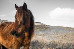 Portrait de beau pottok Basque de cheval avec le vent dans les cheveux en montagnes de campagne dans le pays Basque dans la coule Photos stock