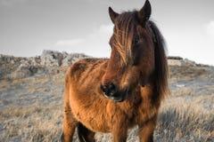 Portrait de beau pottok Basque de cheval avec le vent dans les cheveux en montagnes de campagne dans le pays Basque dans la coule Photographie stock