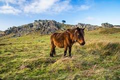 Portrait de beau pottok Basque de cheval en montagnes de campagne dans le pays Basque, France Images libres de droits