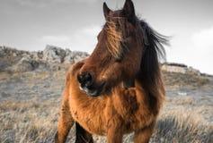 Portrait de beau pottok Basque de cheval en montagnes de campagne dans le pays Basque dans la couleur sélective, France Image libre de droits