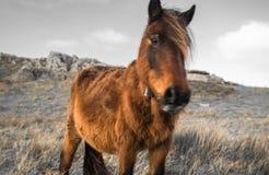 Portrait de beau pottok Basque de cheval en montagnes de campagne dans le pays Basque dans la couleur sélective, France Images stock