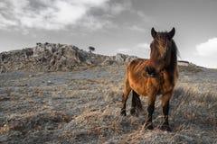 Portrait de beau pottok Basque de cheval en montagnes de campagne dans le pays Basque dans la couleur sélective, France Photographie stock libre de droits
