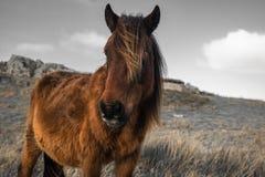 Portrait de beau pottok Basque de cheval en montagnes de campagne dans le pays Basque dans la couleur sélective, France Photographie stock
