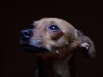 Portrait de beau terrier de jouet sur un fond foncé Images libres de droits
