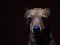 Portrait de beau terrier de jouet sur un fond foncé Photographie stock libre de droits