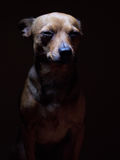 Portrait de beau terrier de jouet sur un fond foncé Image libre de droits