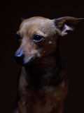 Portrait de beau terrier de jouet sur un fond foncé Image stock