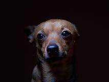 Portrait de beau terrier de jouet sur un fond foncé Photographie stock