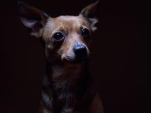 Portrait de beau terrier de jouet sur un fond foncé Photo stock