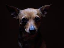 Portrait de beau terrier de jouet sur un fond foncé Photos stock